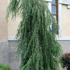 Betula-pendula-Youngii-Youngs-Weeping-Birch