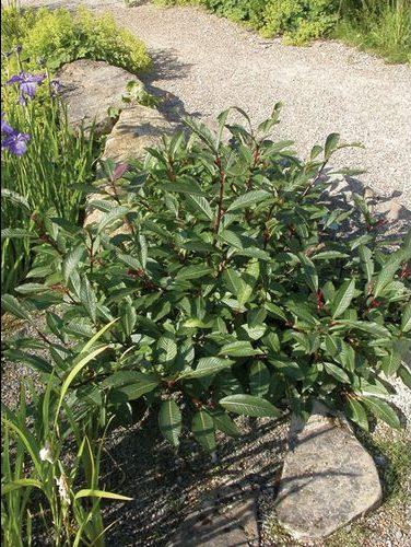 Salix-bebbiana-bebb-willow