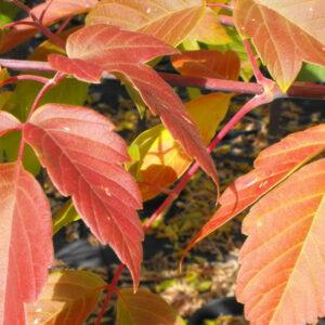 acer-negundo-sensation-fall-foliage-sensation-maple