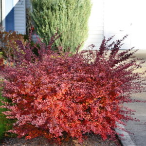 berberis-thunbergii-cherry-bomb-fall-colour-japanese-barberry