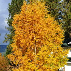 betula-papyrifera-clump-fall-colour-paper-birch