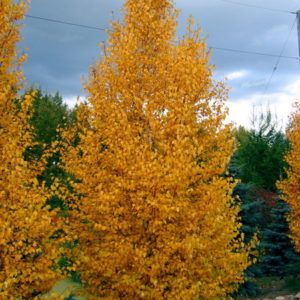 betula-papyrifera-fall-colour-chickadee-birch