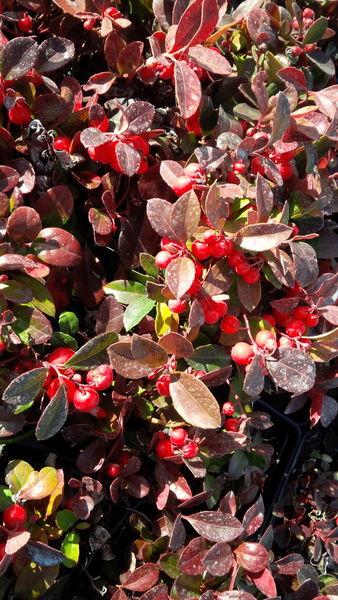 cotoneaster-apiculatus-cranberry