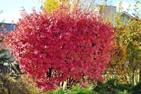 euonymus-alatus-fall-colour-winged-burning-bush