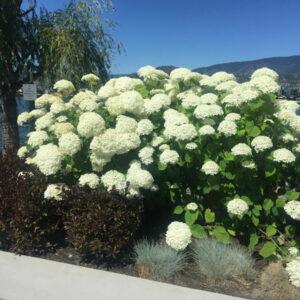 hydrangea-arborescens-annabelle