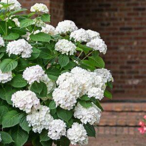 hydrangea-macrophylla -blushing-bride-hydrangea
