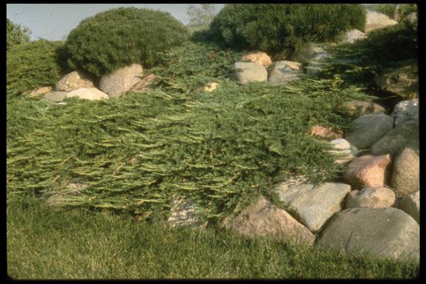 juniperus-horizontalis-prince-of-wales-juniper