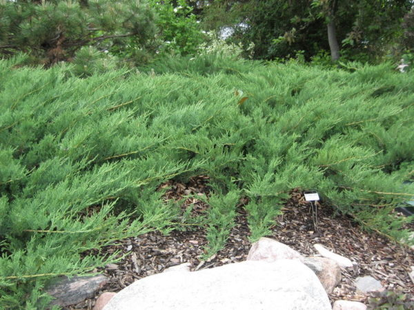 juniperus-sabina-blue-danube-juniper
