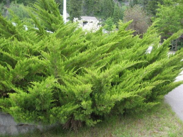 juniperus-sabina-savin-juniper