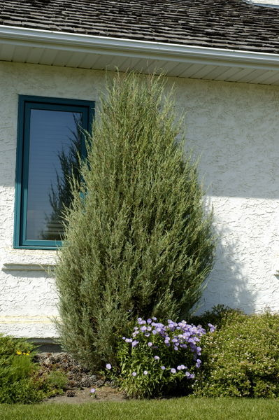 juniperus-scopulorum-cologreen-juniper