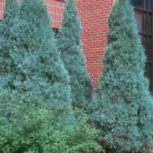 juniperus-scopulorum-medora-juniper