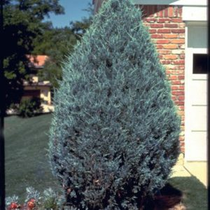 juniperus-scopulorum-moonglow-juniper