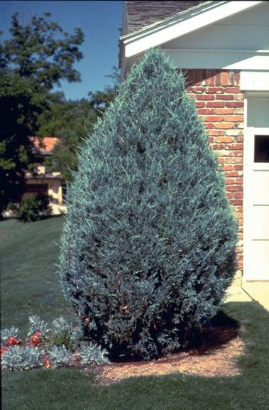 juniperus-scopulorum-moonglow-juniper