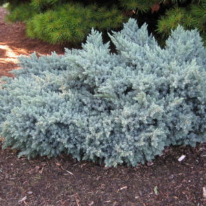 juniperus-squamata-blue-star-juniper
