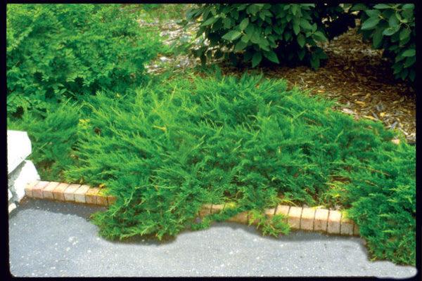 juniperus_sabina-buffalo-juniper