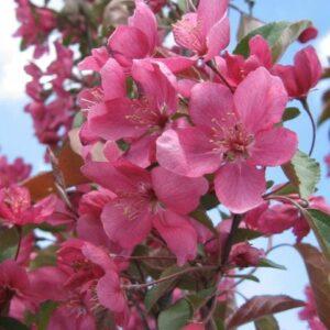 malus-almey-bloom-almey-flowering-crabapple