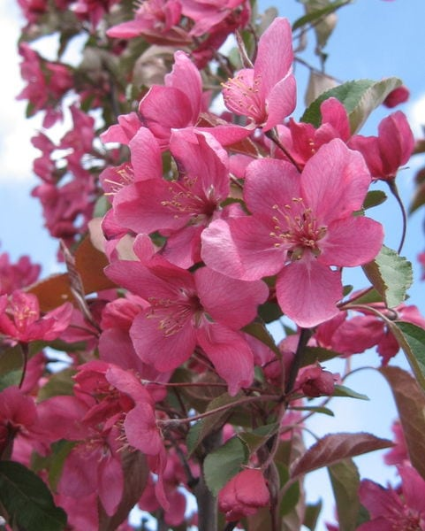 malus-almey-bloom-almey-flowering-crabapple