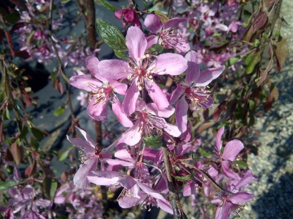 malus-bloom-rosy-glo-weeping-crabapple