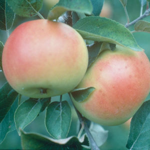 malus-goodland-apple