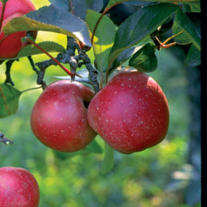 malus-harcourt-apple