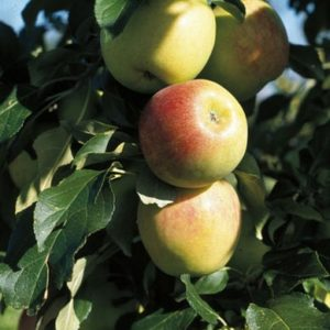 malus-norkent-apple