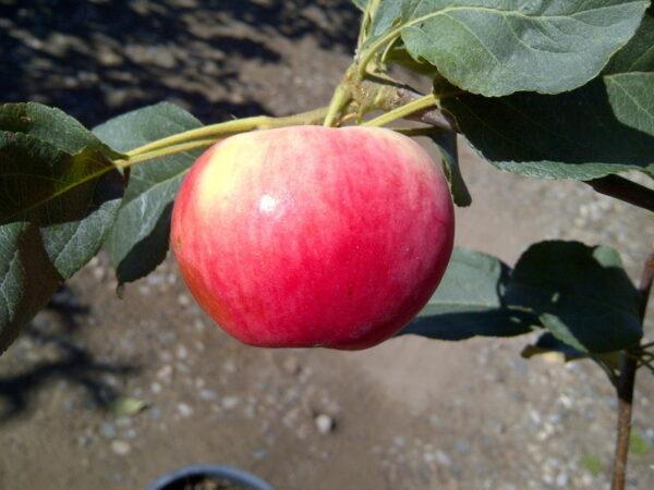 malus-parkland-fruit-parkland-apple