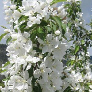 malus-spring-snow-bloom-spring-snow-crabapple