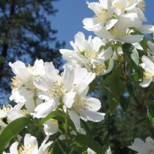 philadelphus-lewisii-bloom-blizzard-mock-orange