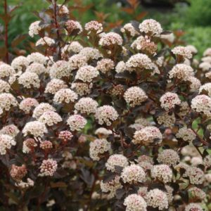 physocarpus-opulifolis-summer-wine-ninebark