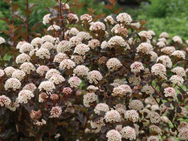 physocarpus-opulifolis-summer-wine-ninebark