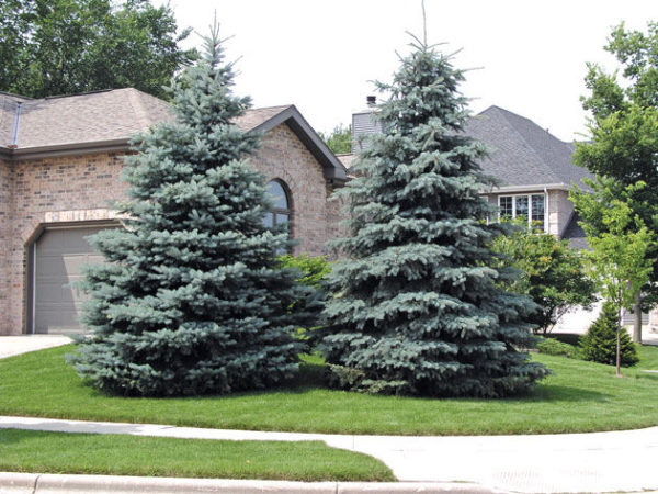 picea-pungens-babyblue-baby-blue-spruce