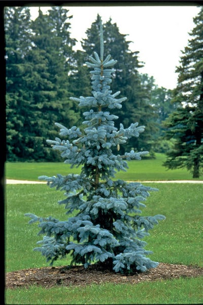 picea-pungens-hoopsii-spruce