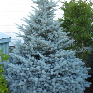 picea-pungens-montgomery-montgomery-spruce