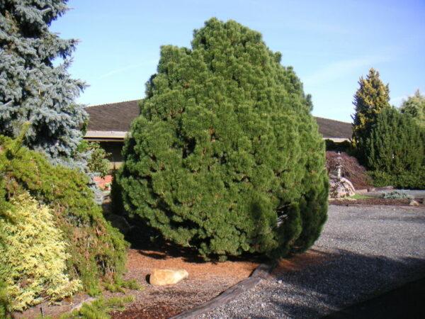 pinus-big-tuna-mugo-pine