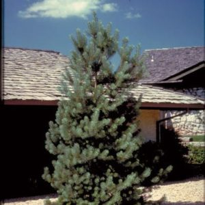 pinus-sylvestris-frenchblue-french-blue-scotch-pine