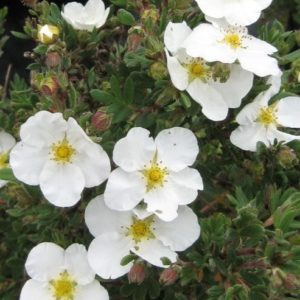 potentilla-fruticosa-abbotswood-bloom