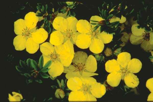potentilla-fruticosa-gold-drop