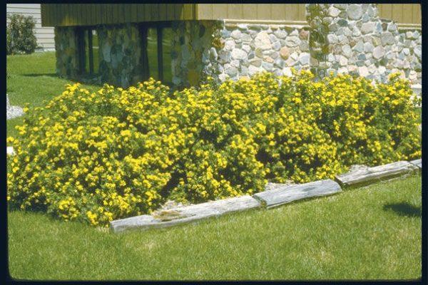 potentilla-fruticosa-jackmans-variety-jackman