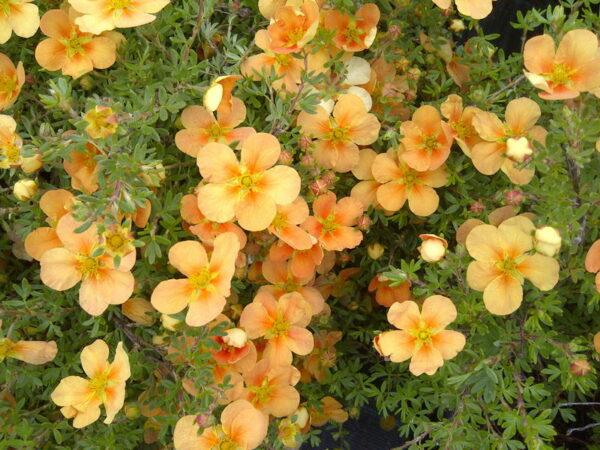 potentilla-fruticosa-orange-whisper-potentilla