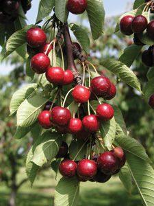 prunus-kerrasis-romeo-cherry