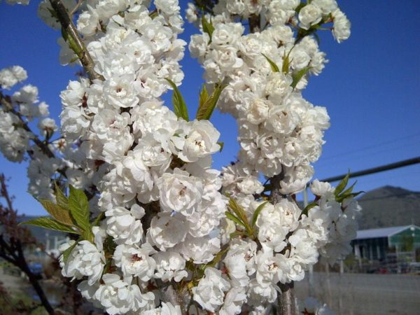 prunus-nigra-bloom-princess-kay-plum