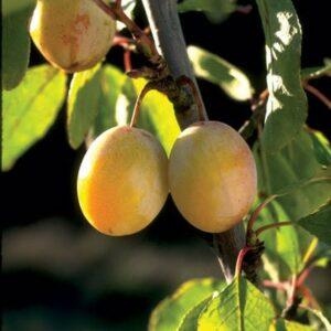 prunus-salicina-brookgold-plum