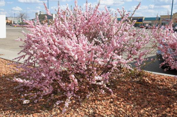 prunus-triloba-multiplex-double-flowering-plum