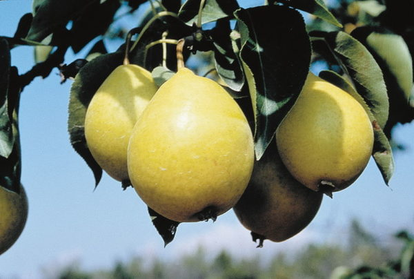 pyrus-ussuriensis-early-gold-pear