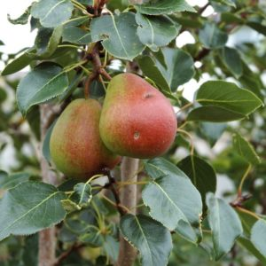 pyrus-ussuriensis-spice-golden-spice-pear