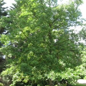 quercus-macrocarpa-bur-oak