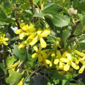 ribes-aureum-bloom-golden-flowering-currant