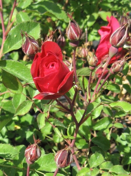 rosa-adelaide-hoodless-rose-bloom