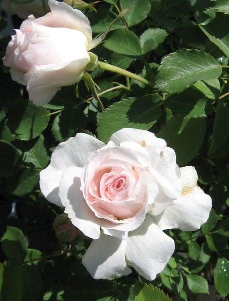 rosa-bloom-morden-blush-rose