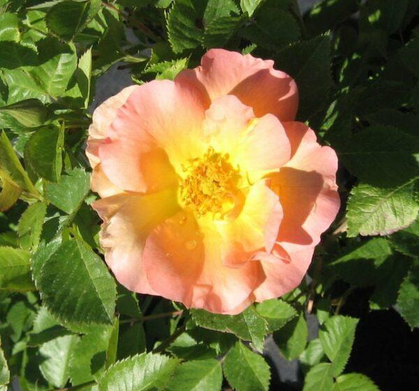 rosa-bloom-morden-sunrise-rose